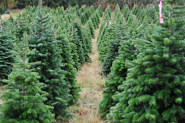 photo credit evan sharboneau thinkstock - Live Christmas Tree