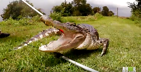 Free Stuff Temple Texas >> Texas Game Wardens Catch Gator At The Fish Bowl In Temple